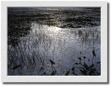 Pewter Sunset, Lily Pond